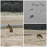 Fraser Island-2015-dingo-pups.jpg